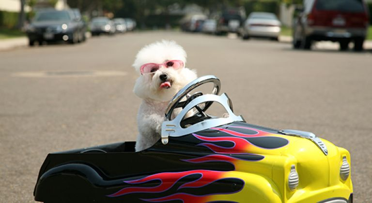 Small dog driving toy car