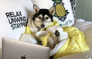 Husky in hotel bed with robe, coffee cup and laptop